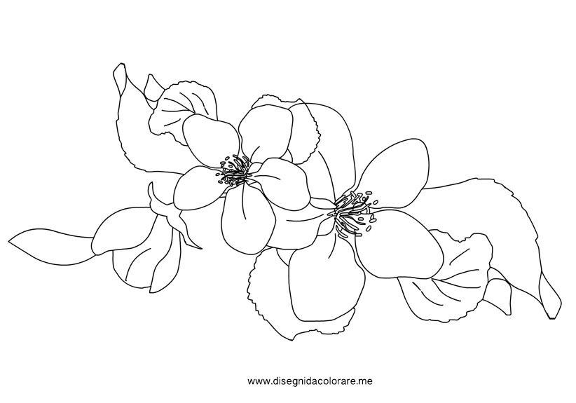 Fiori di melo disegni da colorare for Primule da colorare